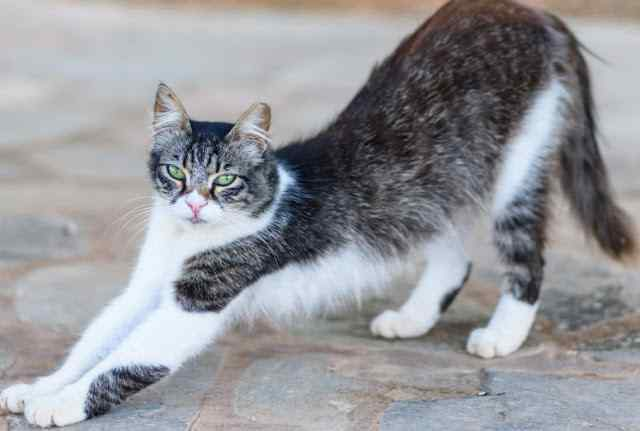 Cyprus Cat Breed