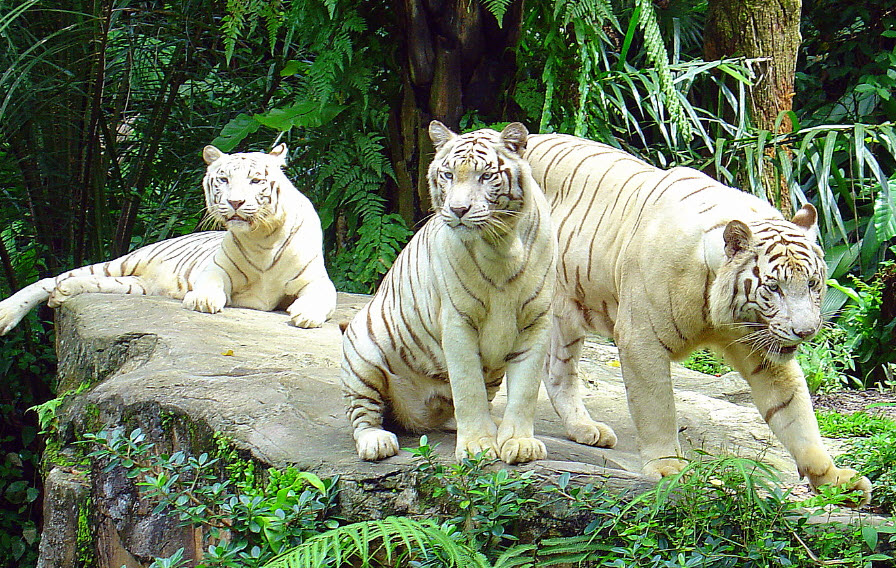 World's largest tiger market could be closed | The Star  |Biggest White Tiger In The World