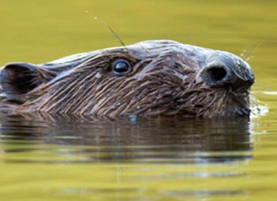 Foto Otter. Bron: stowa.nl