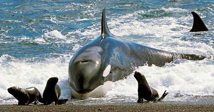 Katil balinalar nam-ı diğer orcalar, etçil bir türdür ve oldukça saldırgandır.