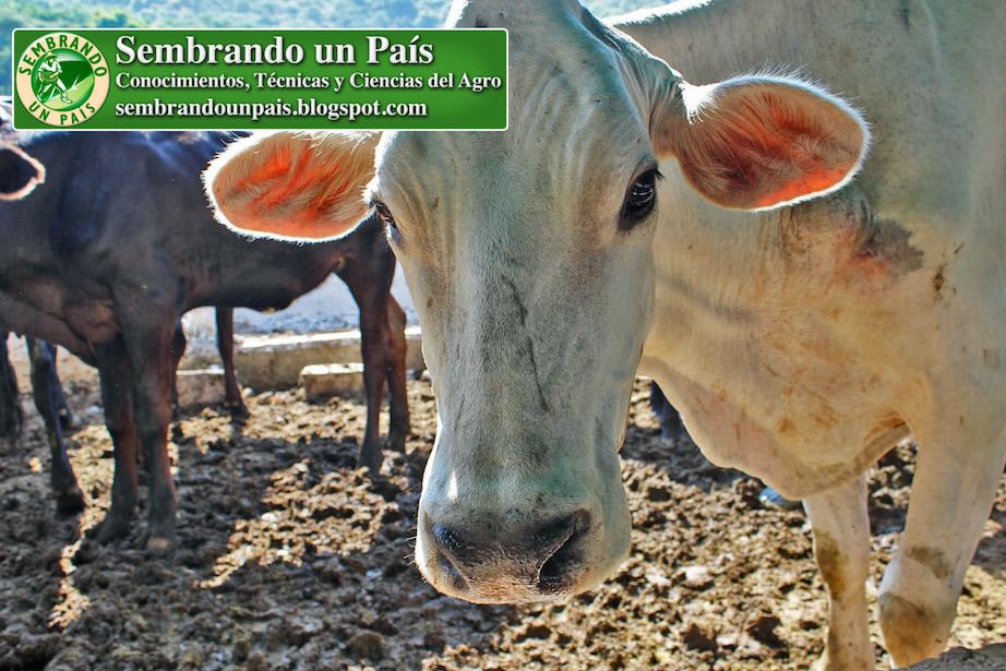 vaca raza Brahman