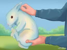 memegang kelinci yang benar