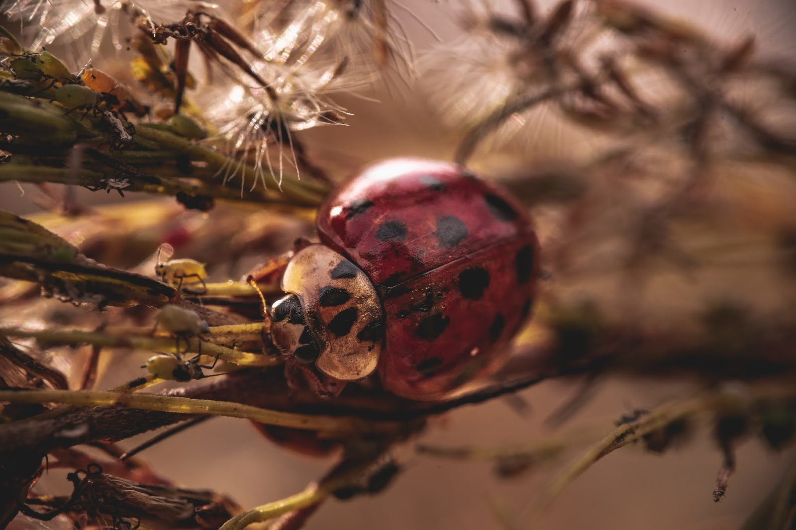 Free download nature photography of a ladybug on a leaf in the garden.