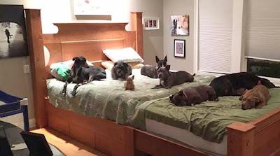 Ζευγάρι βρήκε τρόπο για να κοιμάται μαζί με τα 8 σκυλιά του