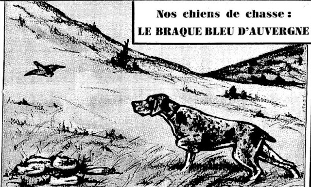 Braque Bleu d'Auvergne.