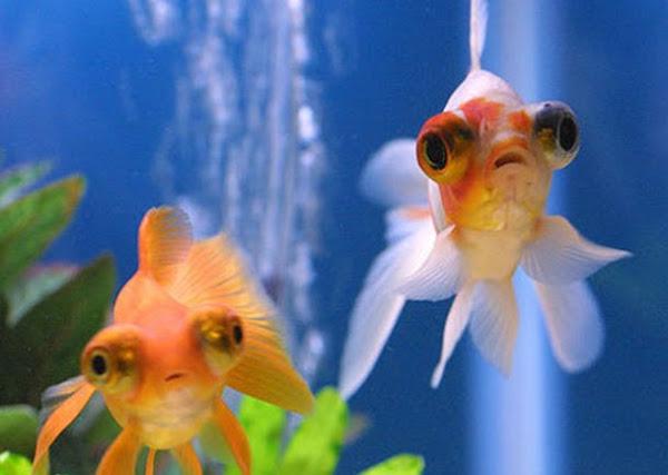 Kỹ thuật nuôi dưỡng và chăm sóc cá vàng cảnh