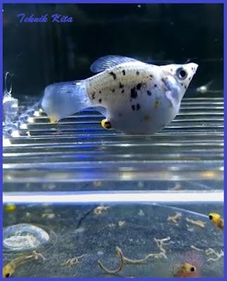 Ikan molly hamil mau melahirkan
