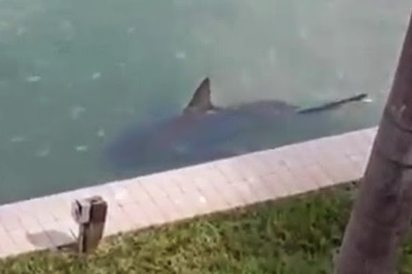 The shark spotted by frightened residents in Florida back garden
