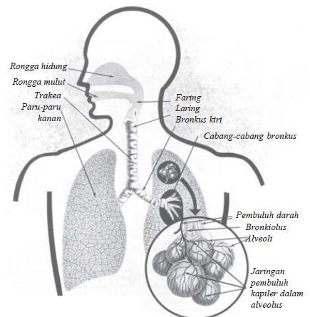Pengertian Rerpirasi dan Saluran Alat (Organ) Pernapasan pada Manusia Lengkap
