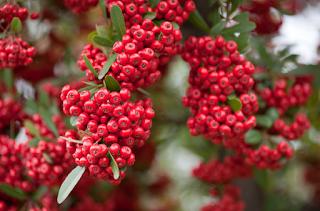 khasiat manfaat herbal buah buni