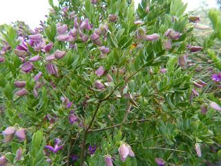 Polygale à feuilles de myrte - Polygala myrtifolia
