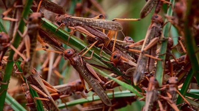IGAD warns of new locust swarms forming in East Africa