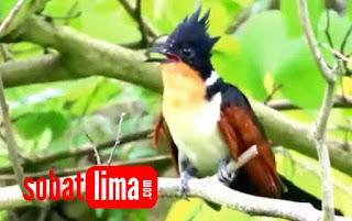 ialang alang betina,makanan burung bubut alang alang,anak an burung bubu,burung bubut bali,burung bubut berjambul,burung bubut bunyi,burung bubut blirik,burung bubut but but suara burung bubut betina,burung bubut coklat,burung bubut cinta,ciri burung bubut jantan,cerita burung bubut,ciri burung bubut,cari burung bubut,ciri2 burung bubut,burung bubut dilindungi,jenis burung bubut di indonesia,makanan burung bubut di alam liar,minyak burung bubut di surabaya,minyak burung bubut di apotik,harga burung bubut di pasaran,suara burung bubut download,harga burung bubut dewasa,burung bubut ekor panjang,burung bubut in english burung bubut,fotoo burung bubut,foto burung bubut jawa
