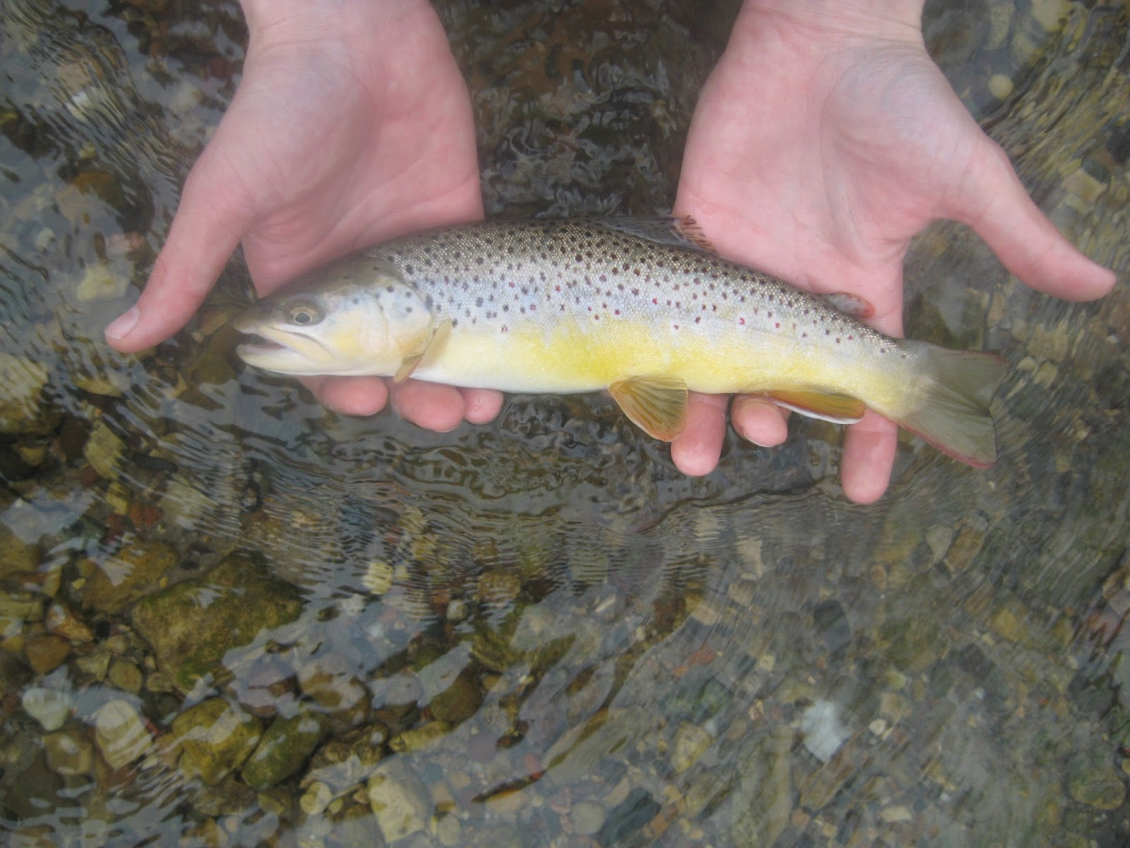 Minnesota driftless fly fishing trip report eagles and trout for Driftless fly fishing