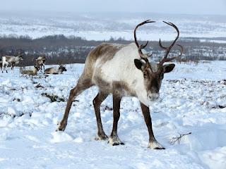 reindeer facts