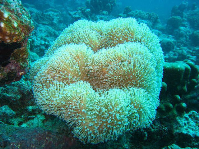κοράλλια