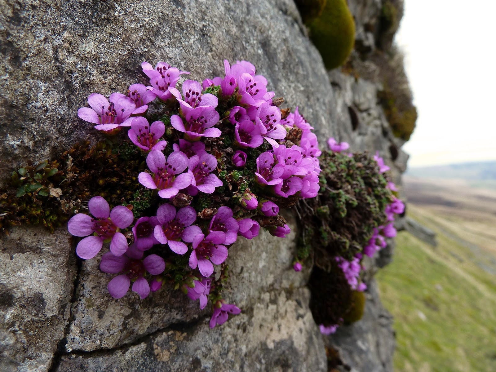 1000+ images about Flowers of Canada on Pinterest ...  Purple Saxifrage Drawing