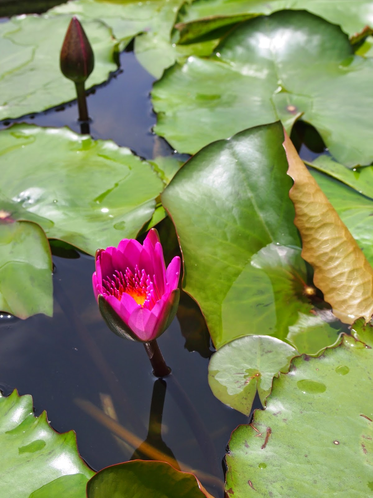 A blooming water lily at the Yuan Tong Temple