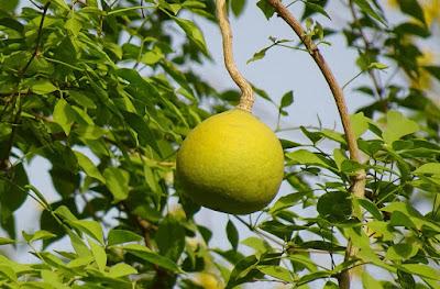 बेलपत्र-का-पेड़-कैसे-लगाया-जाता-है