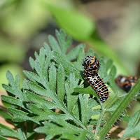 Carotte sauvage (Daucus carota)