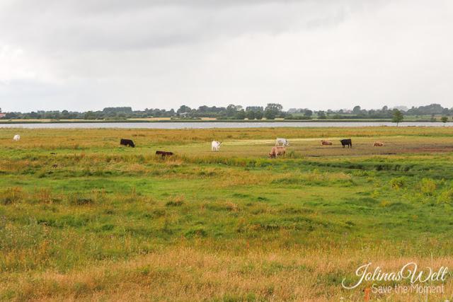 Naturschutzgebiet Schwansener See an der Ostsee Rinder
