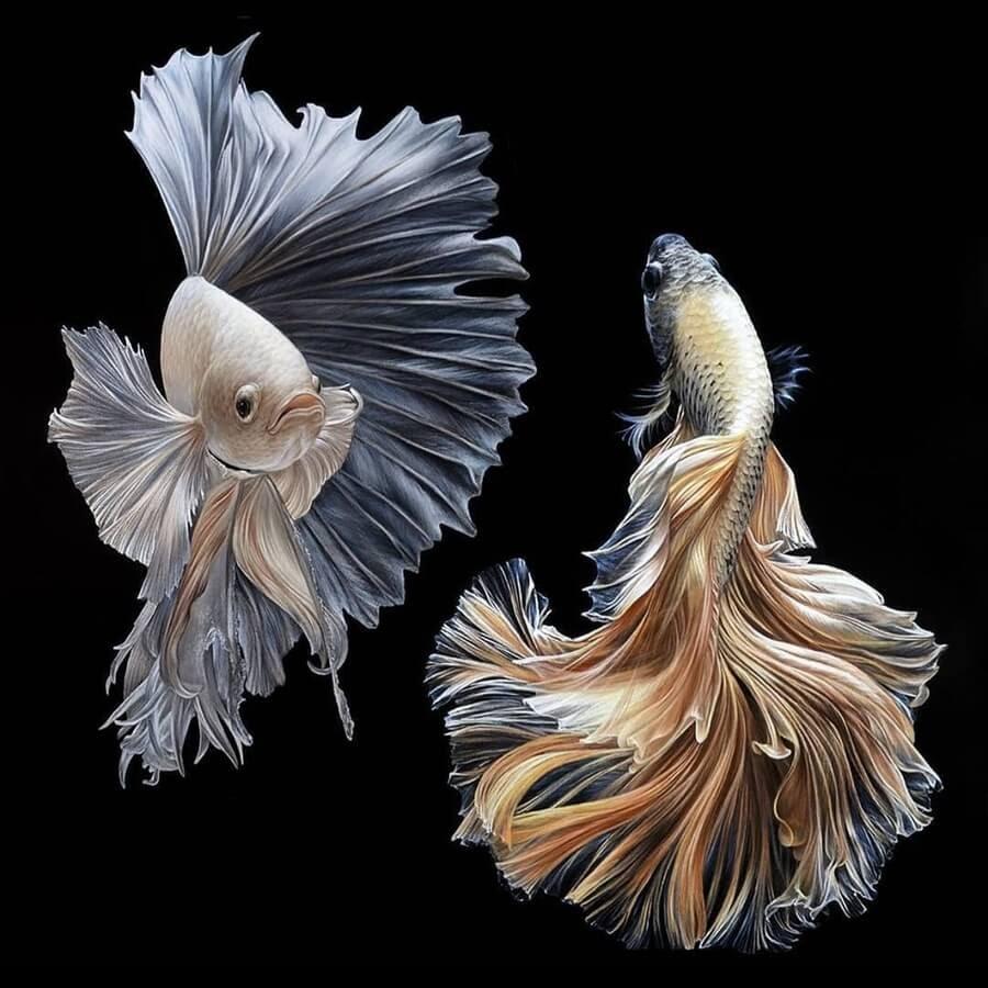 12-Siamese-fighting-fish-Julia-Dubinina-www-designstack-co