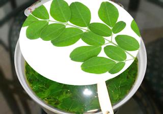 9 manfaat daun kelor untuk kesehatan dan kecantikan
