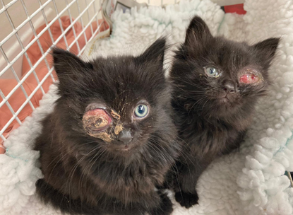 Two black long-haired kittens each with a damaged eye