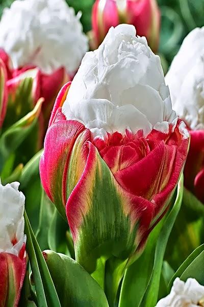 Alluring Planet Ice Cream Tulips