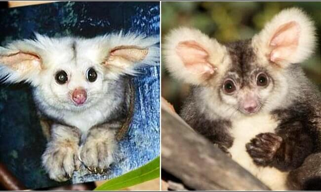 Marsupial Species In Australia