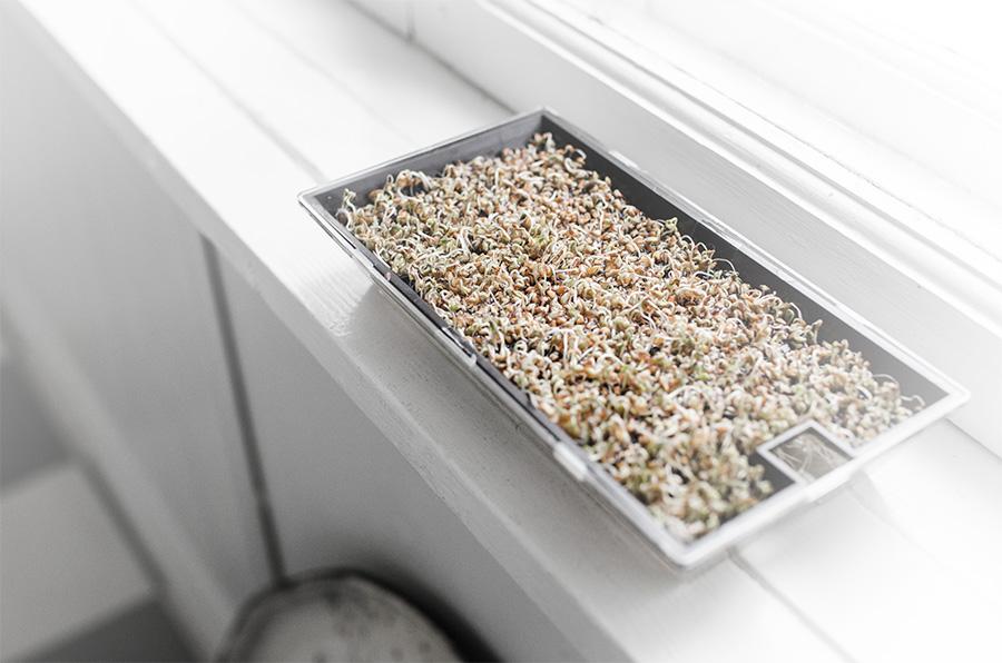 odla krasse på hushållspapper