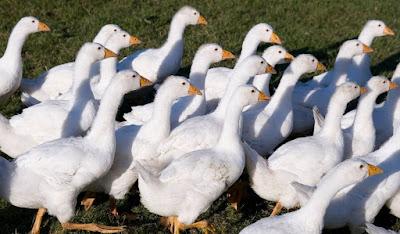 geese farming