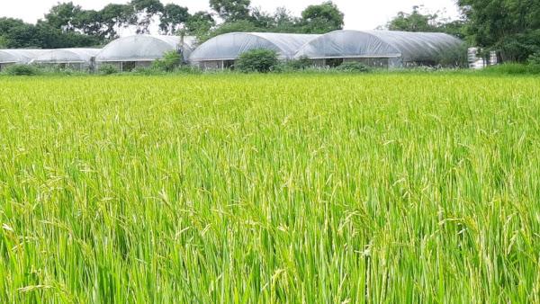有機稻米品種台南11號具有產量高、抗病蟲害、抗倒伏及脫粒率低等優點