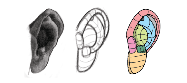 We can simplify the structures of the ear anatomy to better see the structures.