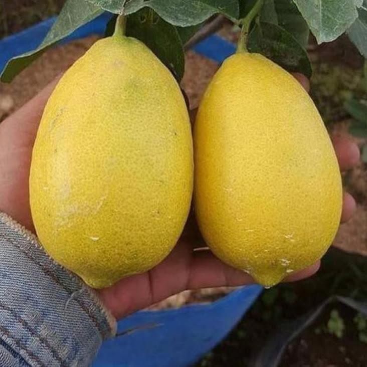 paket 2 Bibit buah lemon tea Long bisa cod Lampung