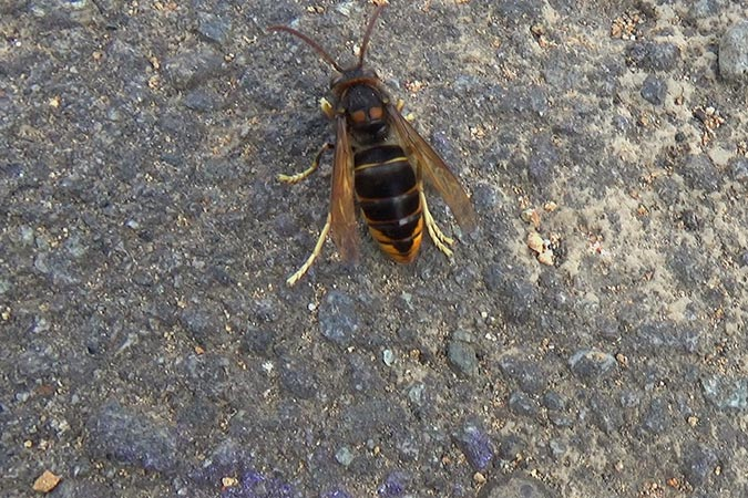 Dlium Yellow-legged hornet (Vespa velutina)