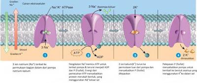 Transpor aktif. Pompa natrium-kalium (Na+-K+-ATPase) menolak ion natrium (Na+) dan membawa ion kalium (K+) ke dalam sel