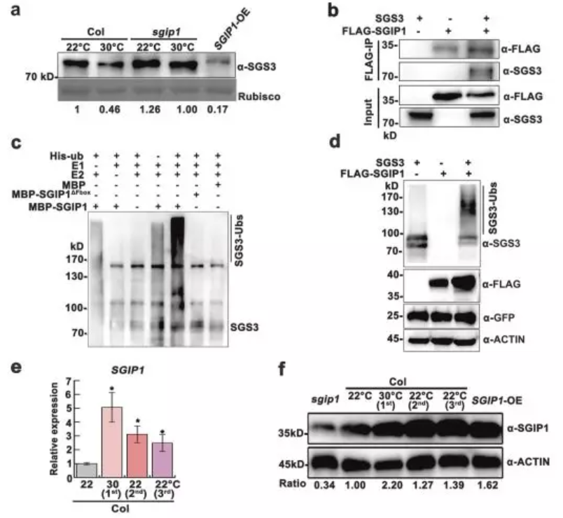 Fig. 2 SGIP1 mediates thermomemory degradation of SGS3