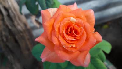 Fresh Orange Rose