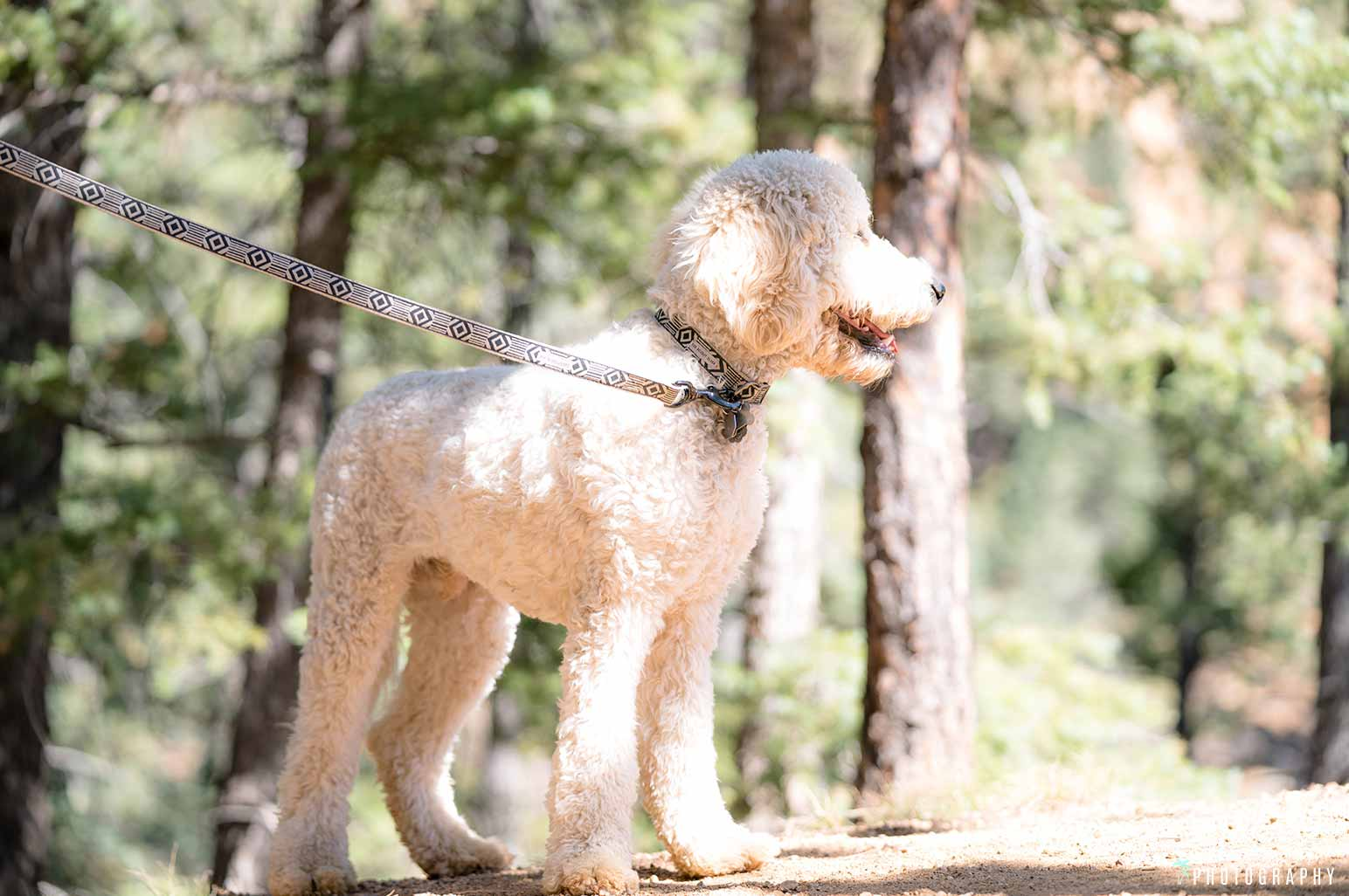 Goldendoodle in the mountains