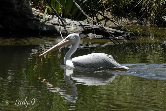 pelican at the san diego safari park