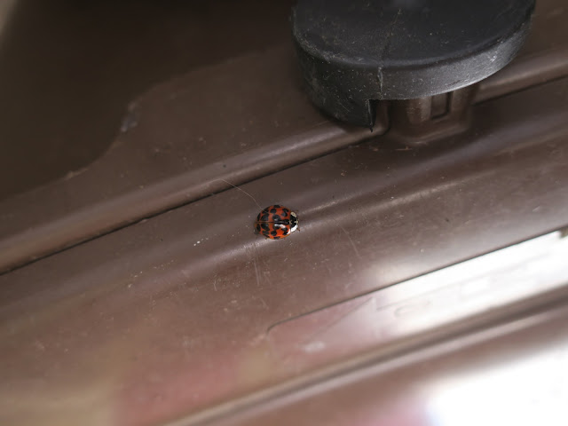 Harlequin ladybird on food waste bin. 8th August 2020.