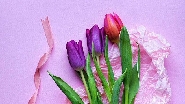 pink purple tulips in pink background HD flowers Wallpaper