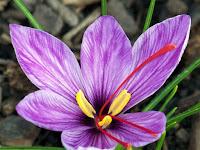 Bunga Saffron, Rempah Termahal di Dunia dalam Sebotol Parfum
