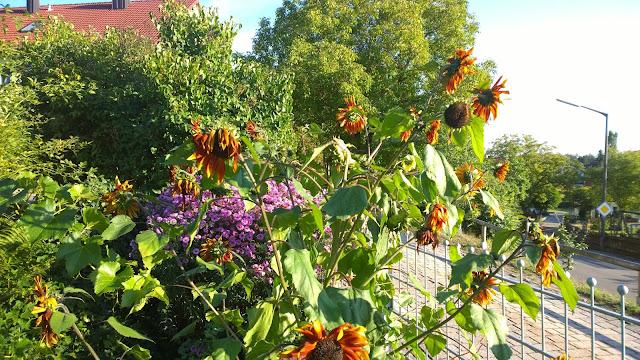 braune mehrblütige Sonnenblume (c) by Joachim Wenk