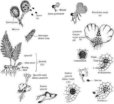 Pengertian Metagenesis dalam Biologi - Pengertian dan ...