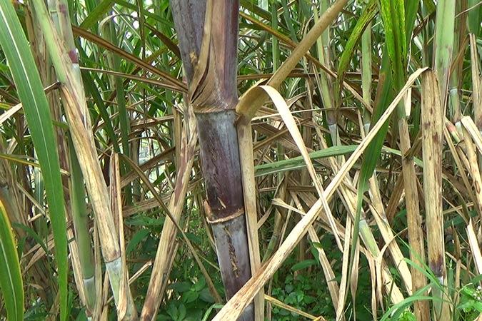 Dlium Sugarcane (Saccharum officinarum)