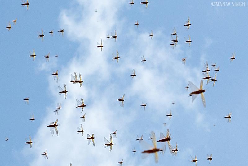 Locust (Tiddi) Attack in Jaipur, Rajasthan.