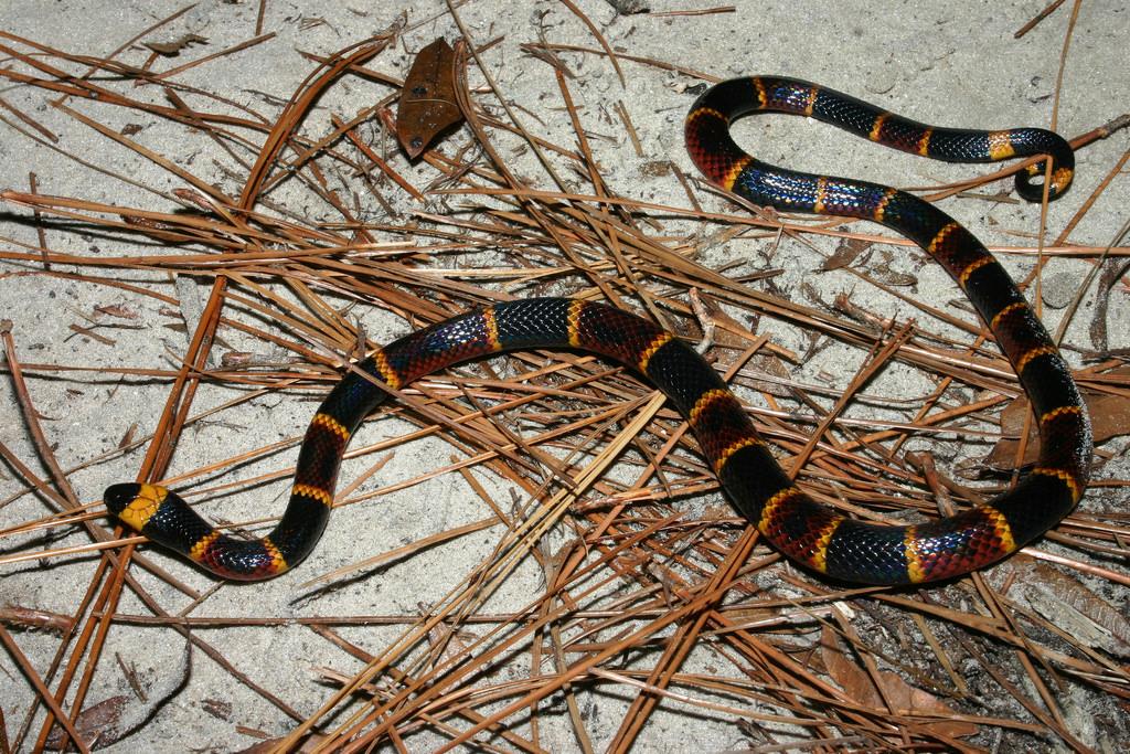 ular karang