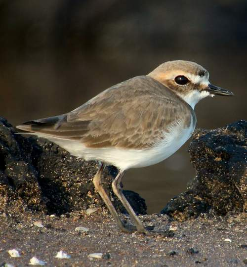 Birds of India - Photo of Kentish plover - Charadrius alexandrinus